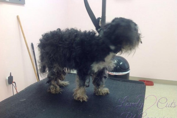 Lovely_Cuts_Pet_Grooming_Before&After_03