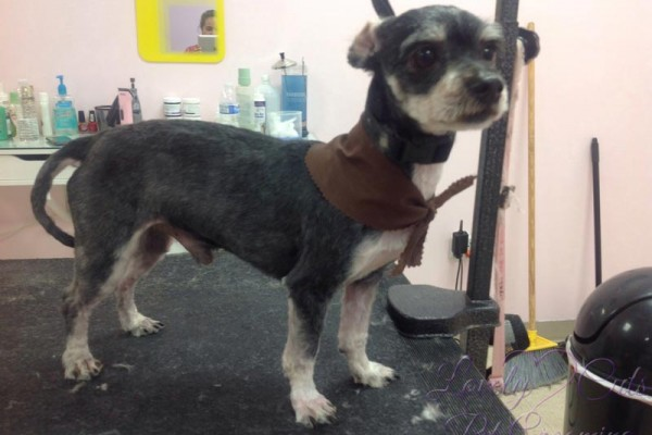 Lovely_Cuts_Pet_Grooming_Before&After_04