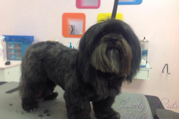 Lovely_Cuts_Pet_Grooming_Before&After_11